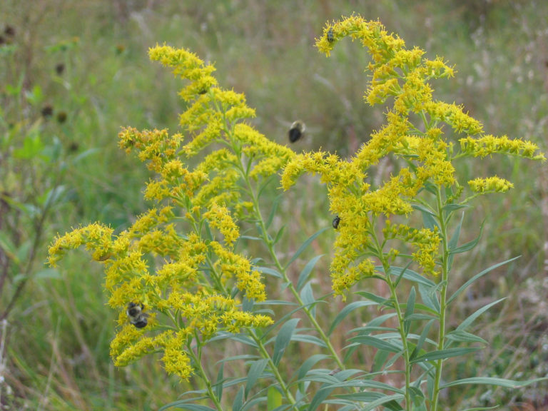 i-native-goldenrod and bees